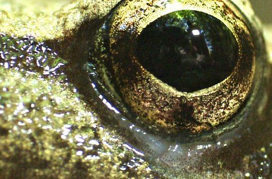 occhio-rana-web
