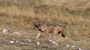 lupo fotografato da Maurizio Passacantando nel Gran Sasso